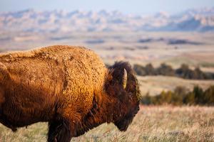 A Buffalo Grazes Near The Sage Creek Basin Area Of Badlands National Park by Ben Herndon