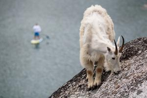A Man On An Inflatable Paddle Board Passes A Foraging Mountain Goat At Colchuck Lake by Ben Herndon