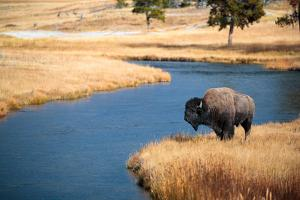 Bison Near Nez Perce Creek On A Stormy Day In Yellowstone National Park In Autumn by Ben Herndon