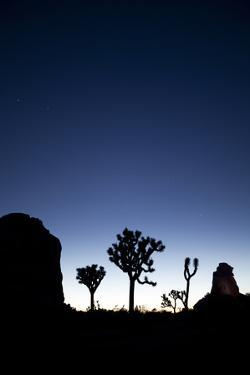 Joshua Trees Silhouetted Against the Night Sky at Dusk in Joshua Tree National Park, California by Ben Herndon