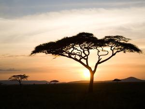 A Acacia Tree in the Serengetti by Ben Horton