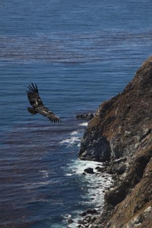 A California Condor Along the Shoreline of Big Sur State Park by Ben Horton