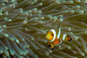 A Close Up of a False Clown Anemone Fish, Amphiprion Ocellaris, Swimming in an Anemone by Ben Horton