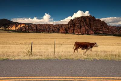 A cow walking along a roadway at Zion National Park, Utah. by Ben Horton