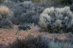 A Coyote in Joshua Tree National Park by Ben Horton