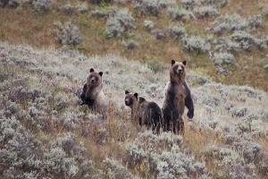 A Grizzly Bear with its Two Cubs at Yellowstone National Park by Ben Horton