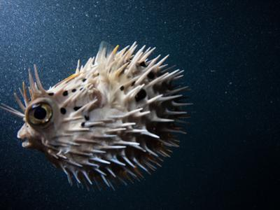 A Puffer Fish Inflates Itself to Protect Itself from Danger by Ben Horton
