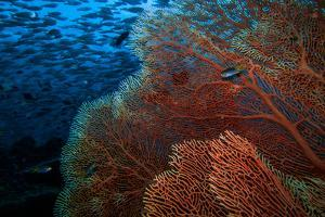 A Red Fan Coral in Blue Water with a School of Fish Above by Ben Horton