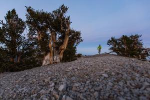 A Runner in a Bristlecone Pine Forest by Ben Horton
