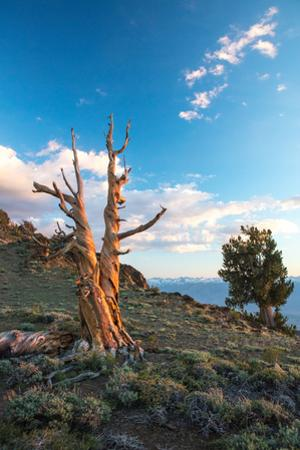 Ancient Bristlecone Pines at sunset. by Ben Horton