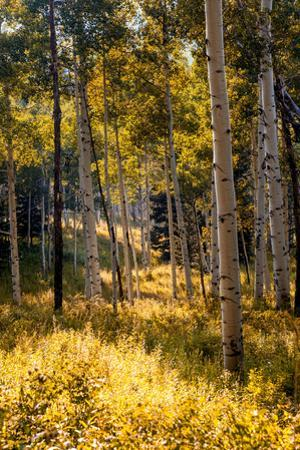 Aspen Trees in Edwards, Colorado by Ben Horton