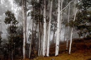 Clouds Form around Aspen Trees High in the Forest by Ben Horton