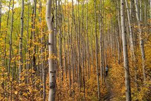 Edwards, Colorado: Hikers Follow a Trail Through the Changing Aspens by Ben Horton