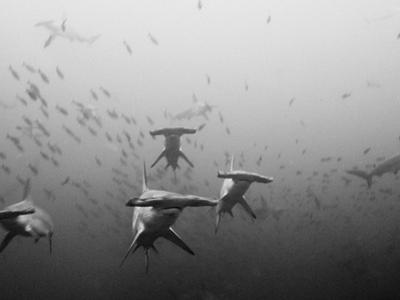 Hammerhead Shark School around a Seamount Deep Below the Surface by Ben Horton