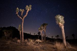 Joshua Trees Standing Below a Starry Sky by Ben Horton