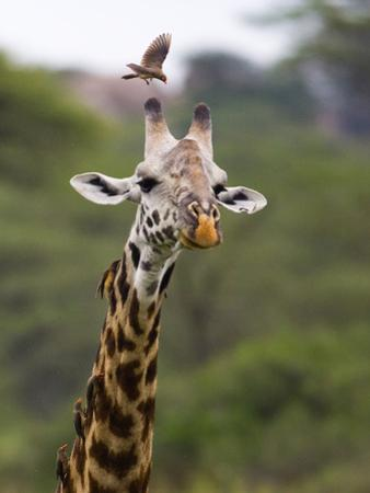 Ngorongoro Crater, Tanzania, Africa: Birds Eat Pesky Bugs Out of a Giraffe's Fur by Ben Horton