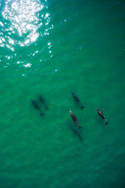 Rare Coastal Bottlenose Dolphins Swim Near the Shoreline in Malibu by Ben Horton