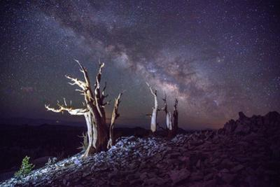 The Milky Way over ancient bristlecone pines. by Ben Horton