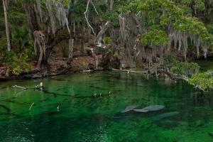 West Indian Manatees Rest Underwater in Blue Springs State Park, Orlando, Florida by Ben Horton