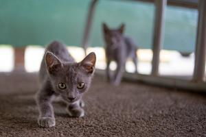 Wild Kittens Approach a Camera with Caution by Ben Horton