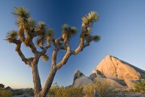 Joshua Tree National Park at Dawn, California, United States of America, North America by Ben Pipe