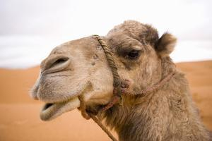 Image result for africa camels