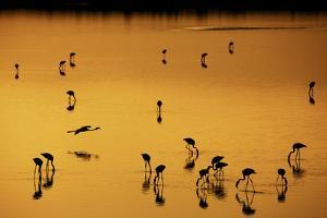 Greater Flamingo (Phoenicopterus roseus) flock, feeding in shallow water, Lake Magadi by Ben Sadd