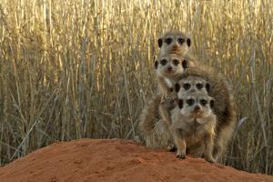 Meerkat (Suricata suricatta) four juveniles, Kuruman River Reserve by Ben Sadd