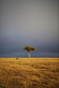View of lone tree in grassland habitat with stormclouds, Ol Pejeta Conservancy, Kenya by Ben Sadd