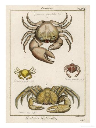 Gecarcinus Anisochele and Other Crabs