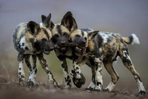African wild dogs juveniles playing, Mkuze, South Africa by Bence Mate