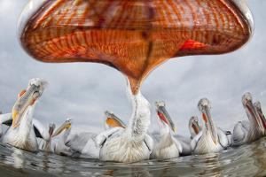 Dalmatian Pelican (Pelecanus Crispus) Low Angle Perspective of Open Bill, Lake Kerkini, Greece by Bence Mate