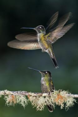 Green Crowned Brilliant Hummingbird (Heliodoxa Jacula) Taking Off to Feed in Garden, Costa Rica by Bence Mate