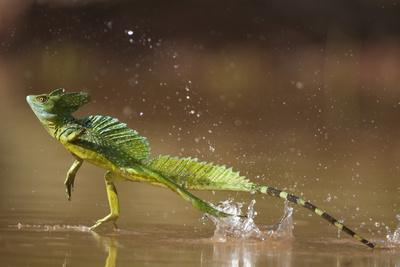 Green - Double-Crested Basilisk (Basiliscus Plumifrons) Running Across Water Surface