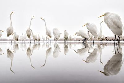 Group of Great Egrets (Ardea Alba) Reflected in Still Water