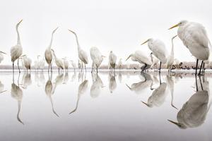 Group of Great Egrets (Ardea Alba) Reflected in Still Water by Bence Mate