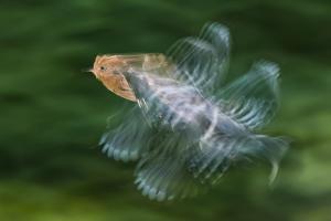 Hoopoe (Upupa Epops) in Flight, Hungary. Multi Flash, Long Exposure by Bence Mate