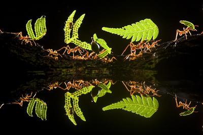 Leaf Cutter Ants (Atta Sp) Female Worker Ants Carry Pieces of Fern Leaves to Nest, Costa Rica