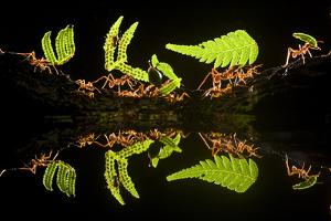 Leaf Cutter Ants (Atta Sp) Female Worker Ants Carry Pieces of Fern Leaves to Nest, Costa Rica by Bence Mate