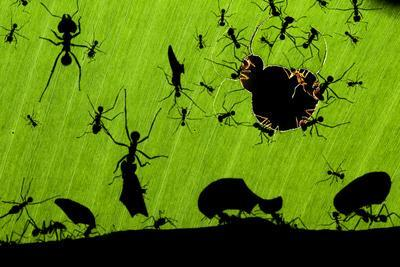 Leafcutter Ants (Atta Sp) Colony Harvesting a Banana Leaf, Costa Rica