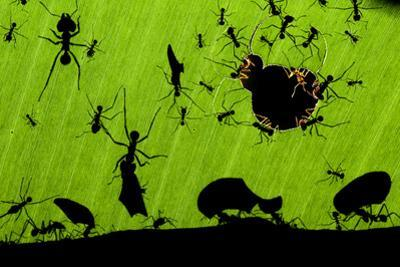 Leafcutter Ants (Atta Sp) Colony Harvesting a Banana Leaf, Costa Rica by Bence Mate