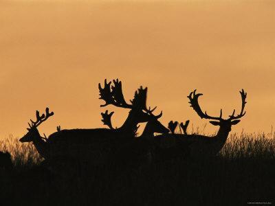 Male Fallow Deer, Silhouettes at Dawn, Tamasi, Hungary