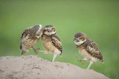 Two Newly Fledged Burrowing Owl Chicks (Athene Cunicularia), Pantanal, Brazil