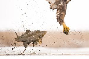 White-Tailed Eagle (Haliaeetus Albicilla) with Muddy Fish Slipping from its Claws by Bence Mate