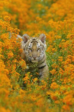 Bengal Indian Tiger Cub Amongst Mustard Flowers