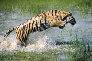 Bengal Indian Tiger Leaping Through Water