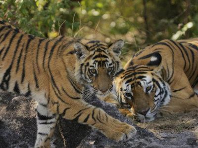 https://imgc.allpostersimages.com/img/posters/bengal-tiger-6-month-old-cub-and-tigress-madhya-pradesh-india_u-L-Q10R4030.jpg?p=0
