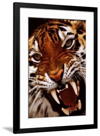 Bengal Tiger Close-Up--Framed Poster