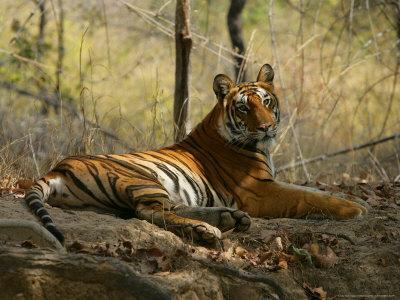 https://imgc.allpostersimages.com/img/posters/bengal-tiger-female-resting-madhya-pradesh-india_u-L-Q10R42G0.jpg?p=0
