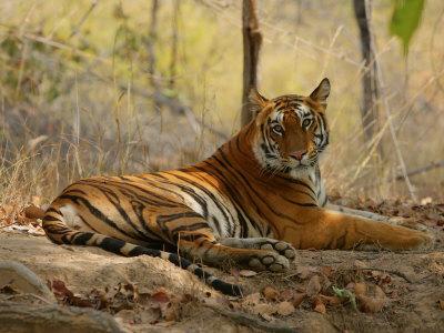 https://imgc.allpostersimages.com/img/posters/bengal-tiger-female-resting-madhya-pradesh-india_u-L-Q10RDB80.jpg?p=0